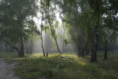 Fairy-tale forest. Solar beams. Foggy morning in a forest stock images