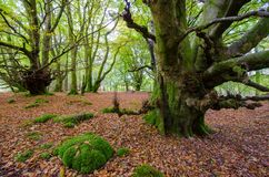 Fairy tale forest in Scottish Highlands. With trees covered by green moss and red fall leaves covering the ground Stock Images