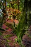 Fairy tale forest in Scottish Highlands. With trees covered by green moss and red fall leaves covering the ground Royalty Free Stock Photography