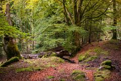 Fairy tale forest in Scottish Highlands. With trees covered by green moss and red fall leaves covering the ground Stock Image