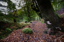 Fairy tale forest in Scottish Highlands. With trees covered by green moss and red fall leaves covering the ground Royalty Free Stock Image
