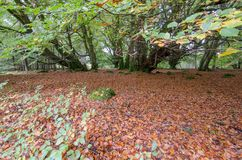 Fairy tale forest in Scottish Highlands. With trees covered by green moss and red fall leaves covering the ground Stock Photos