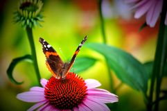 Fairy tale garden. Red admiral butterfly and cone flowers. Vivid colors. Butterfly Red Admiral, Vanessa Atalanta on pink Echinacea Purpurea-  coneflower. Pretty Royalty Free Stock Photos