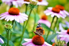 Fairy tale garden. Red admiral butterfly and cone flowers. Vivid colors. Butterfly Red Admiral, Vanessa Atalanta on pink Echinacea Purpurea-  coneflower. Pretty Royalty Free Stock Images