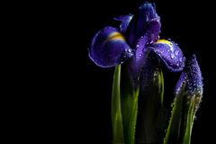 Fairy- tale luminous iris Royalty Free Stock Photo