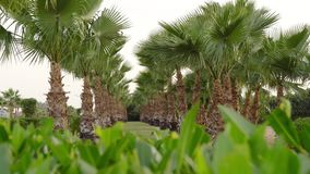Fairy-tale palm grove on a windy day on a paradise island.  stock video footage