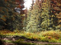 Fairy Tale Wood In Red, Yellow And Green Colors. Pines, firs and grass in wild forest Royalty Free Stock Photos
