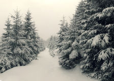 Fairy-tales snowfall in winter forest Stock Image