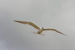fairy tern Стоковые Фотографии RF