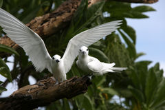 Fairy Tern Birds. Stock Photography