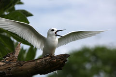 Fairy Tern Bird. Royalty Free Stock Photo