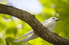 Fairy tern on the branch Royalty Free Stock Photos