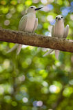 Fairy terns. Amorous pair of Fairy Terns: mates sat close together on a branch , Seychelles royalty free stock photo