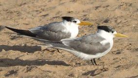 fairy terns Стоковые Фотографии RF