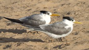 Crested Terns. A pair of native Crested Terns on the beach of Bunbury, Western Australia Royalty Free Stock Photos
