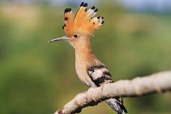 Fairy tufted птица с Стоковая Фотография RF