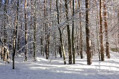 Fairy winter forest. Trees in the snow. Sunny frosty day. White winter background.  royalty free stock images