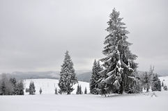 Fairy winter landscape with fir trees Stock Photo