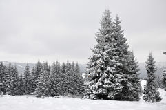 Fairy winter landscape with fir trees Royalty Free Stock Photo