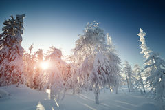 Fairy winter landscape with snow covered trees Royalty Free Stock Photography