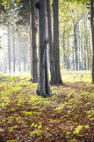 Fairy woods. With trees in central Royalty Free Stock Photography