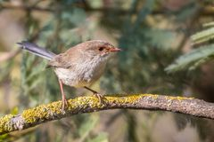 Fairy Wren royalty free stock images
