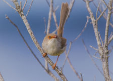Fairy Wren Royalty Free Stock Photography