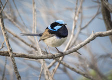 Fairy Wren. Male Fairy Wren sitting on a branch Stock Image