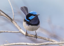 Fairy Wren. Male Fairy Wren sitting on a branch Royalty Free Stock Photo