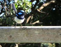 The Fairywren. A snap of the very superb fairy-wren Royalty Free Stock Photography