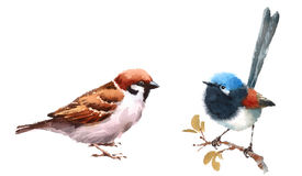 Fairy Wren and Sparrow Birds Watercolor Illustration Set Hand Drawn. Hand drawn Watercolor illustration Set of Fairy Wren and Sparrow Birds isolated on white Stock Images