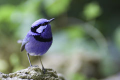 Fairy-wren superbo   Fotografia Stock