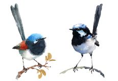 Fairy Wrens Birds Watercolor Illustration Set Hand Drawn. Hand drawn Watercolor illustration Set of Two Fairy Wrens Birds isolated on white background vector illustration