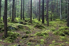 Fairytale coniferous forest. Forest landscape -  fairytale coniferous forest, stones covered with green moss. Spring in the Carpathians. Ukraine Royalty Free Stock Images