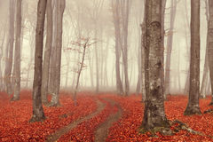 Fairytale foggy forest and trail through the leaves Royalty Free Stock Image