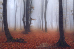 Fairytale foggy forest and trail through the leaves Stock Photography