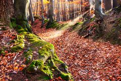 Fairytale Forest. Deciduous trees in autumn with sunbeam stock photos