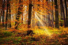 Fairytale Forest. Deciduous trees in autumn with sunbeam stock photo