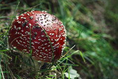 Fairytale mushroom. Red and poisonous mushroom in the forest Stock Image