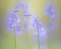 Fairytale picture of spring blue bells wild flowers. On a soft green background Royalty Free Stock Photography