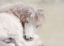 Fairytale Pony. A portrait of a beautiful white pony with a long blonde mane, looking rather like a unicorn as she tucks her snout into her foreleg Royalty Free Stock Images