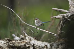 Fairywren femelle Photo stock