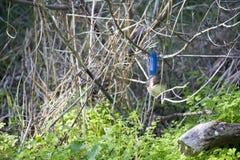 Fairywren splendide femelle était perché sur une branche de gomme en automne en retard Photos stock