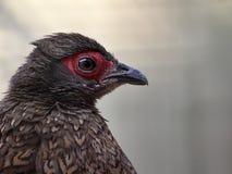 faisán Long-tailed Negro-necked Imágenes de archivo libres de regalías