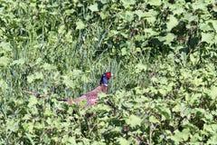 Faisán masculino hermoso que oculta en hierba Foto de archivo