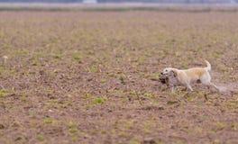 Faisán que lleva del perro en una caza fotos de archivo libres de regalías