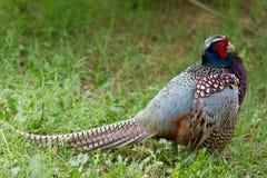 Faisán que se coloca en la hierba que se divierte el plumaje colorido Foto de archivo libre de regalías