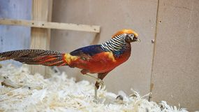 Faisão bonito bonito no jardim zoológico de trocas de carícias foto de stock
