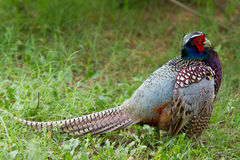 Faisão que está na grama que ostenta a plumagem colorida Foto de Stock Royalty Free