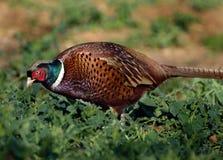 Faisan masculin dans le plumage d'élevage Image libre de droits